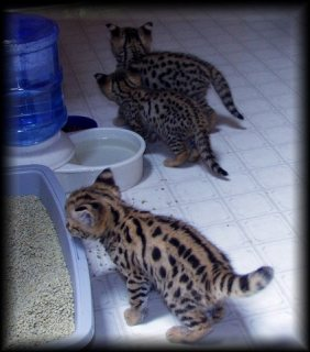 Savannah cats females F5 SBT registered TICA for sale