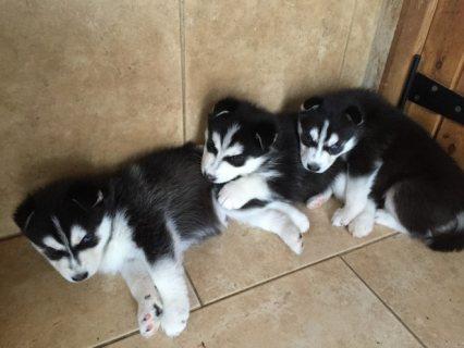Beautiful Siberian Husky Pups(estertorres111>@>g>m>a>i>l>.>c>o>m