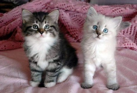 Lovely male and female Siberian kittens for sale