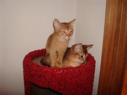 Abyssinian kittens for sale.Please contact us now for more detai