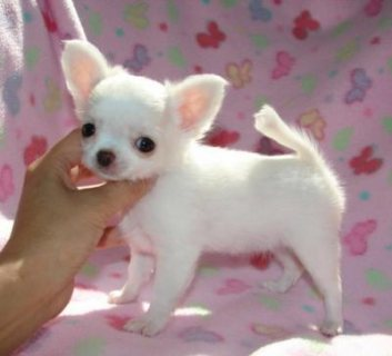 Two Teacup Chihuahua Puppies For sale