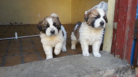 صور  Pure breed saint bernard puppies for sale 1