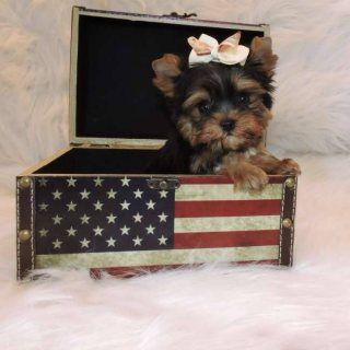 Two Outstanding And Adorable Home Trained Teacup Yorkieo1