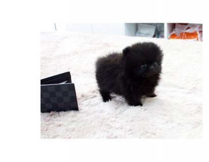 Teacup Black And White Pomeranian Puppies012
