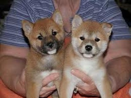Shiba Inu Puppies now Available 009