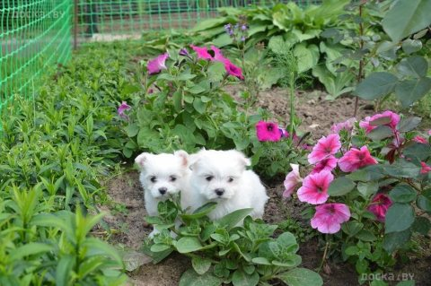 Adorable male and female maltese Puppies for sale