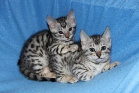 صور Well Train Male And Female Bengal Kittens For Adoption 1