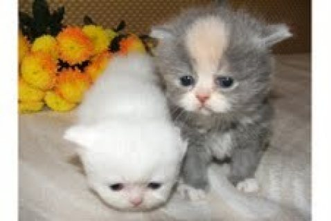 Adorable T.IC.A Kittens inteligent Persian Kittens for adoption