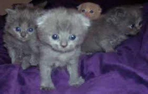 Cute male and female Scottish kittens for sale