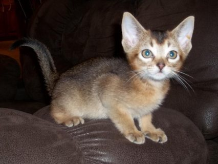 صور Cute Male and female Abyssinian Kittens for sale./././/. 1