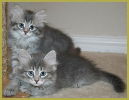 Sweet male and female Siberian kittens for sale