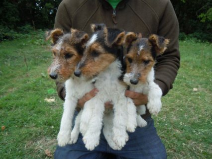 صور Pedigree Wirehaired Fox terrier Puppies For Sale 1