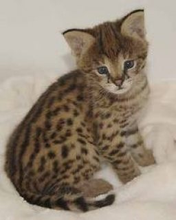 Lovely Ocelot Cats