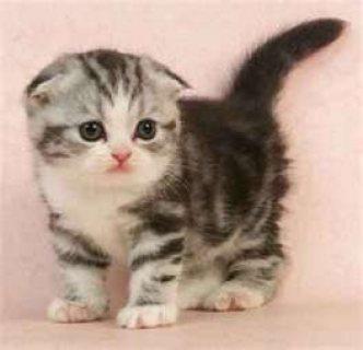 Scotish Fold Kitten to take home.