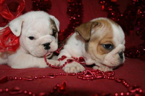 Healthy Male and female English Bulldog Puppies for sale