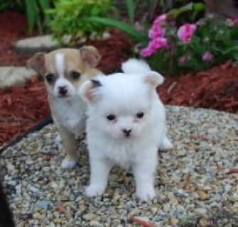 صور Cute male and female chihuahua puppies for sale 1