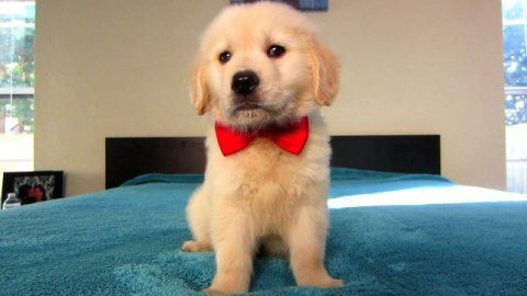 Purebred Super cute Golden Retrievers Puppies for sale
