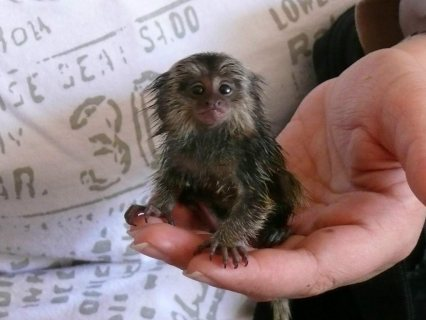 Adorable Little Marmoset Monkey for Adoption