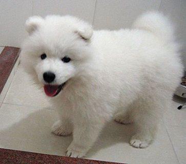 adoreble samoyed seill puppy