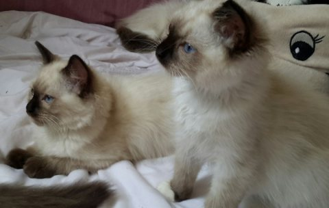 Registered Ragdolls Kittens