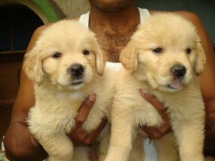 Health certified Golden Retriever Puppies for sale