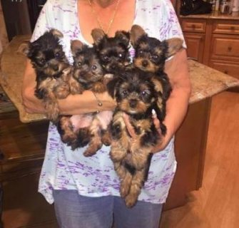 !!!!!Cute litters of Yorkie puppies for adoption ready to ggo no