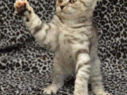 Beautiful British Shorthaired Kittens for adoption