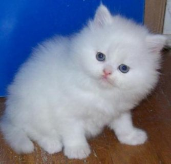 Home Raised Male and female Teacup white Persian kittens