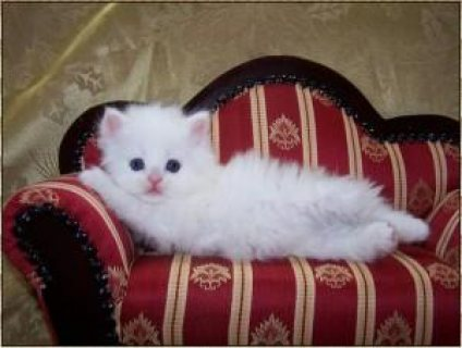 white Teacup Persian kittens available for a good home