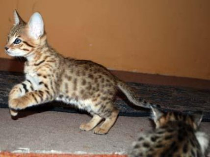 صور Last Two F5 Savannah Kittens Ready To Go Immediately 1