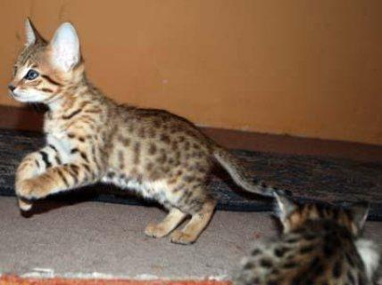 Last Two F5 Savannah Kittens Ready To Go Immediately