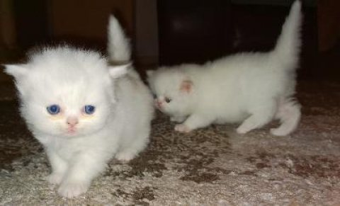 These sweet Persian Kittens are bright eyed bundles of love