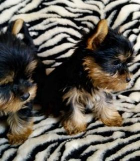 Beautiful litter of full bred Yorkshire terrier only  ready to g