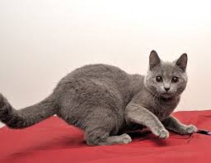 Chartreux Kittens for Sale