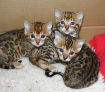 Good looking cute Bengal Kittens For sale