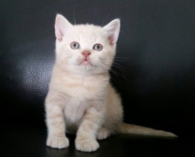 British short hair Kitten Available