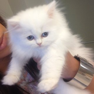 Adorable Teacup Persian Kittens for Rehoming.