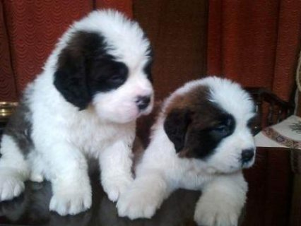 صور good looking male and female saint bernard puppies for rehoming 1