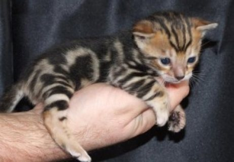 Adorable Bengal Kittens Available for sale