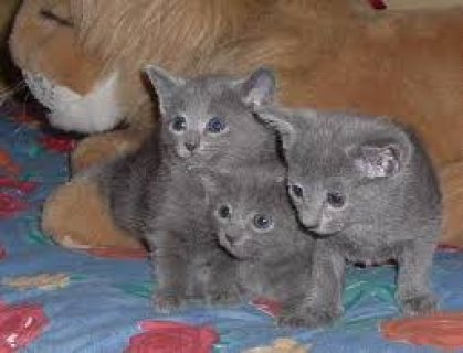 Male and female Russian Blue kittens ready for sale ...