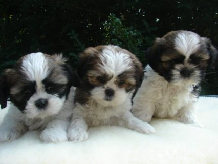 صور Male and Female shih Tzu puppies For Rehoming 1
