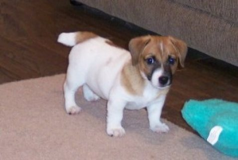 AKC registered Jack Russell Puppies for sale/././.