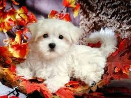 Family Raised T-Cup Maltese Puppies Available for sale