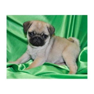 lovely Pug Puppies Ready for any pet loving home