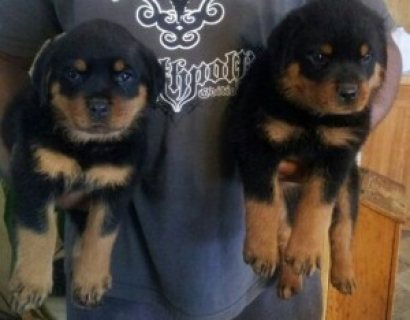 AKC Reg German Rottweiler Puppies for sale....,.