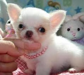 Chihuahua Puppies Ready for Adoption