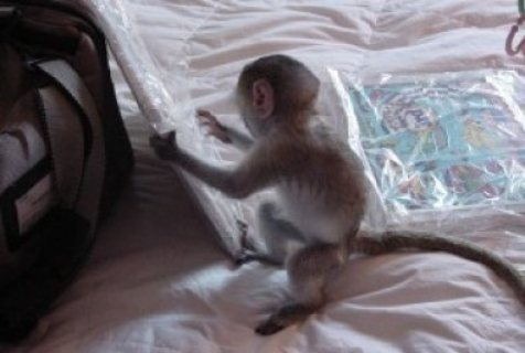 playful baby capuchin monkeys for your family