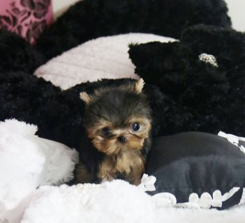 Wow Adorable Teacup Teacup Yorkshire Puppies For Adoption.