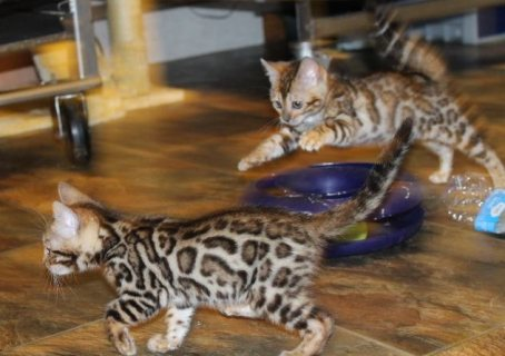 I have lovely little Bengal cross kittens 6 months old