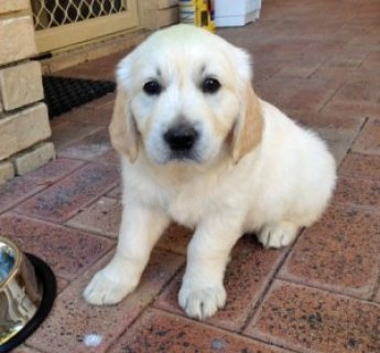 Cute male and female golden retriever puppies for sale....
